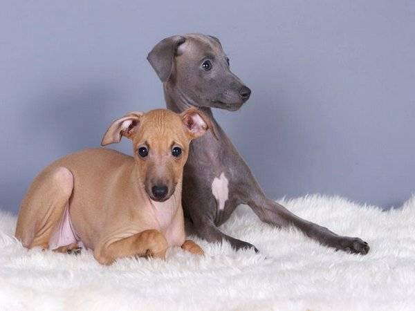 Левретка (малая итальянская борзая) собака: цена, фото, характер