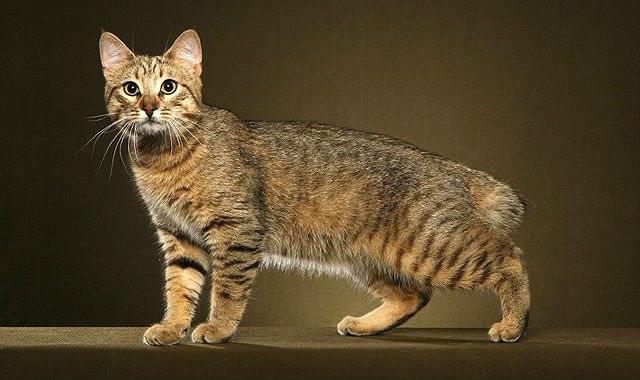 Пиксибоб-порода кошек, описание и 15 фото, цена котёнка