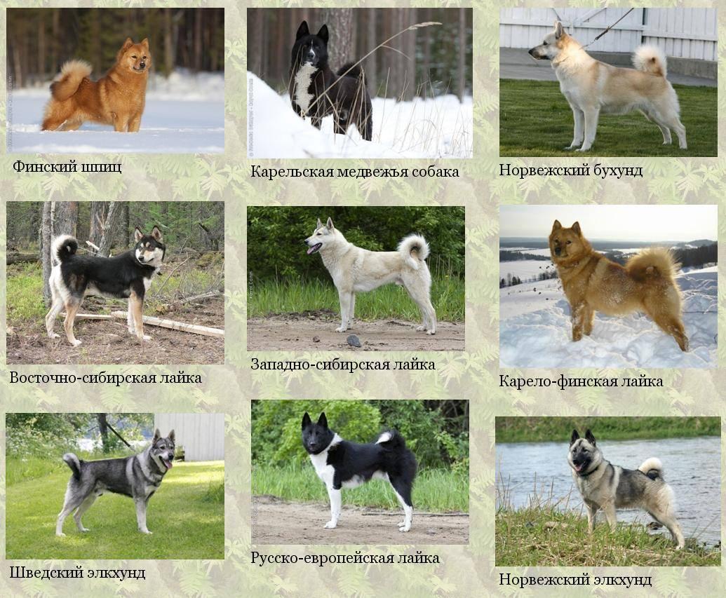 Русско-европейская лайка: описание породы