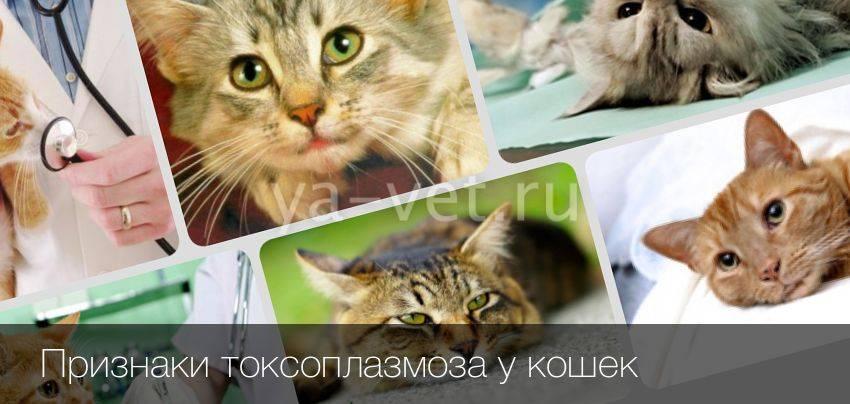 Токсоплазмоз у кошек и собак: симптомы, как передается болезнь, способы диагностики и лечения