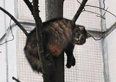 Как снять кошку с высокого дерева