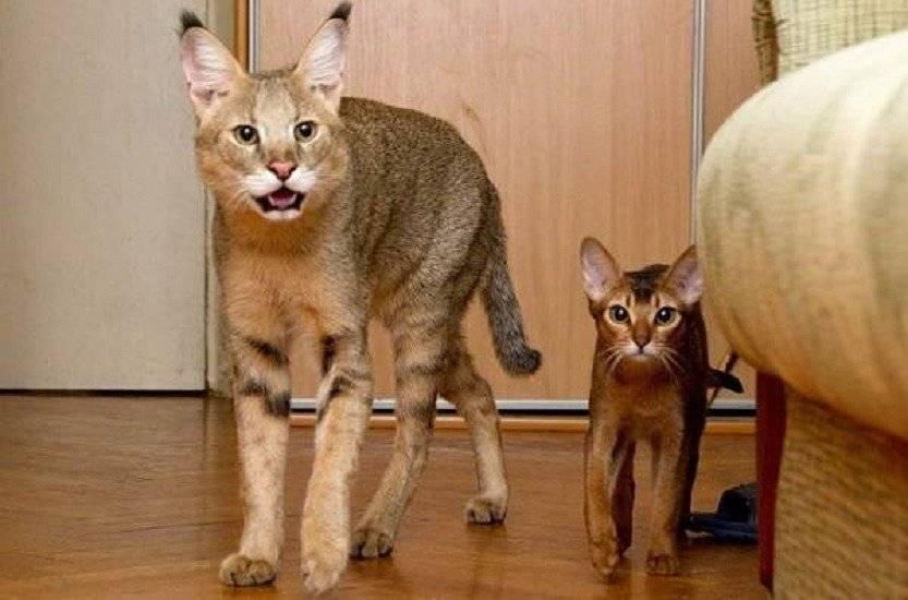 Порода кошек которые разговаривают. «разговорчивый» кот: замечательный собеседник или кошмар всей жизни? или, почему кричит кошка? место – британская короткошерстная кошка