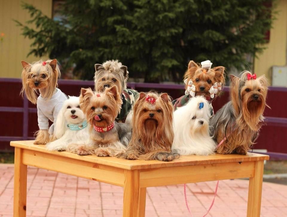 Какие собаки лучше йорки или шпицы