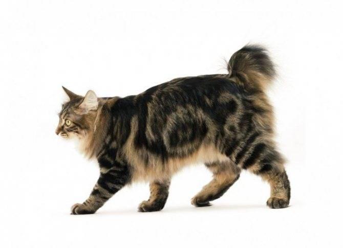Кошка бобтейл — коротко о породе, окрас, повадки, правила ухода, кормежка + 77 фото