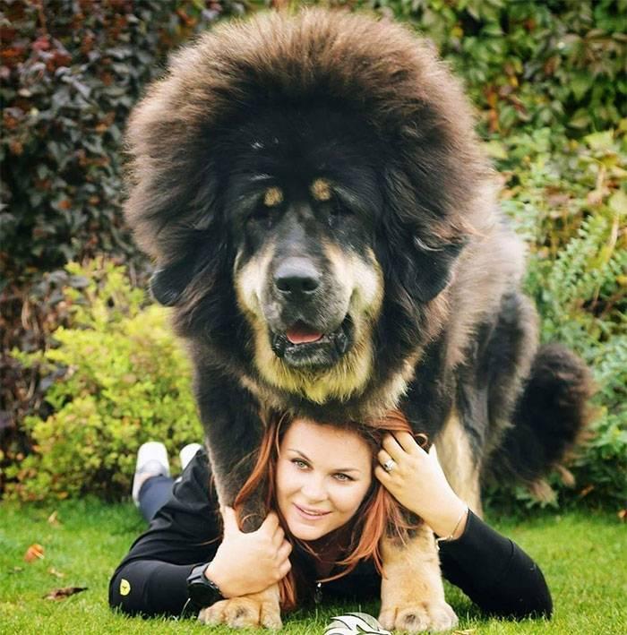 Тибетский мастиф: фото и видео, описание породы, характер, питомники и цена. - petstime.ru