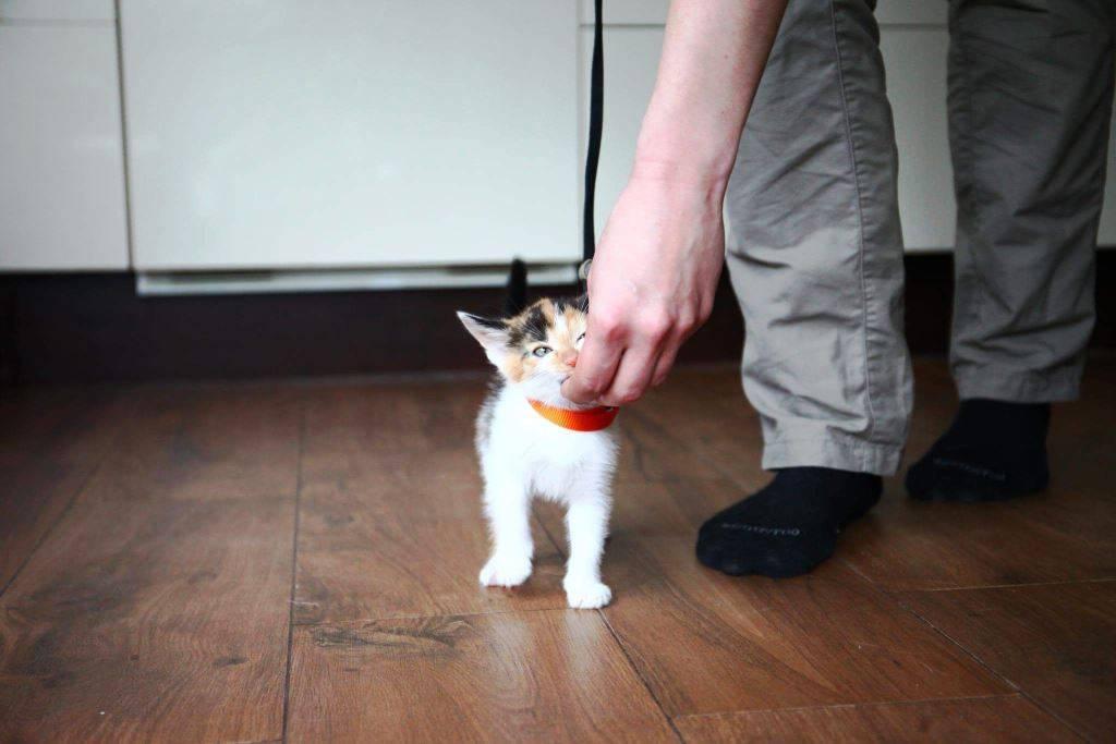 Дрессируем кошку в домашних условиях: видео уроки для начинающих
