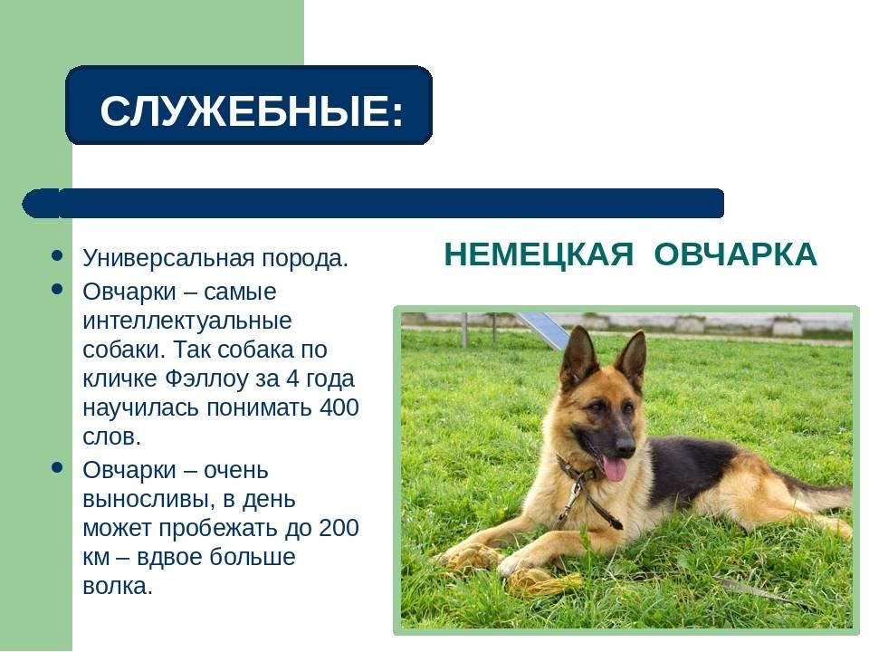 Помчи: описание дизайнерской породы собак с фото и видео
