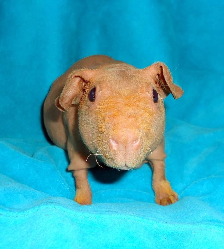 Большая морская свинка куи — самая большая свинка в мире описание и особенности содержания