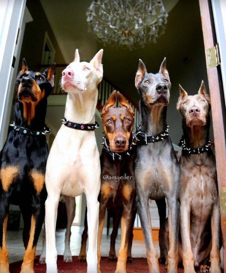 Самые преданные породы собак: самые верные хозяину псы, топ-10 лучших пород в мире, рейтинг маленьких собак для квартиры