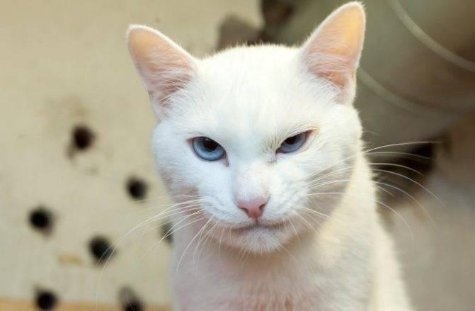 Белая кошка с голубыми глазами: обзор пород