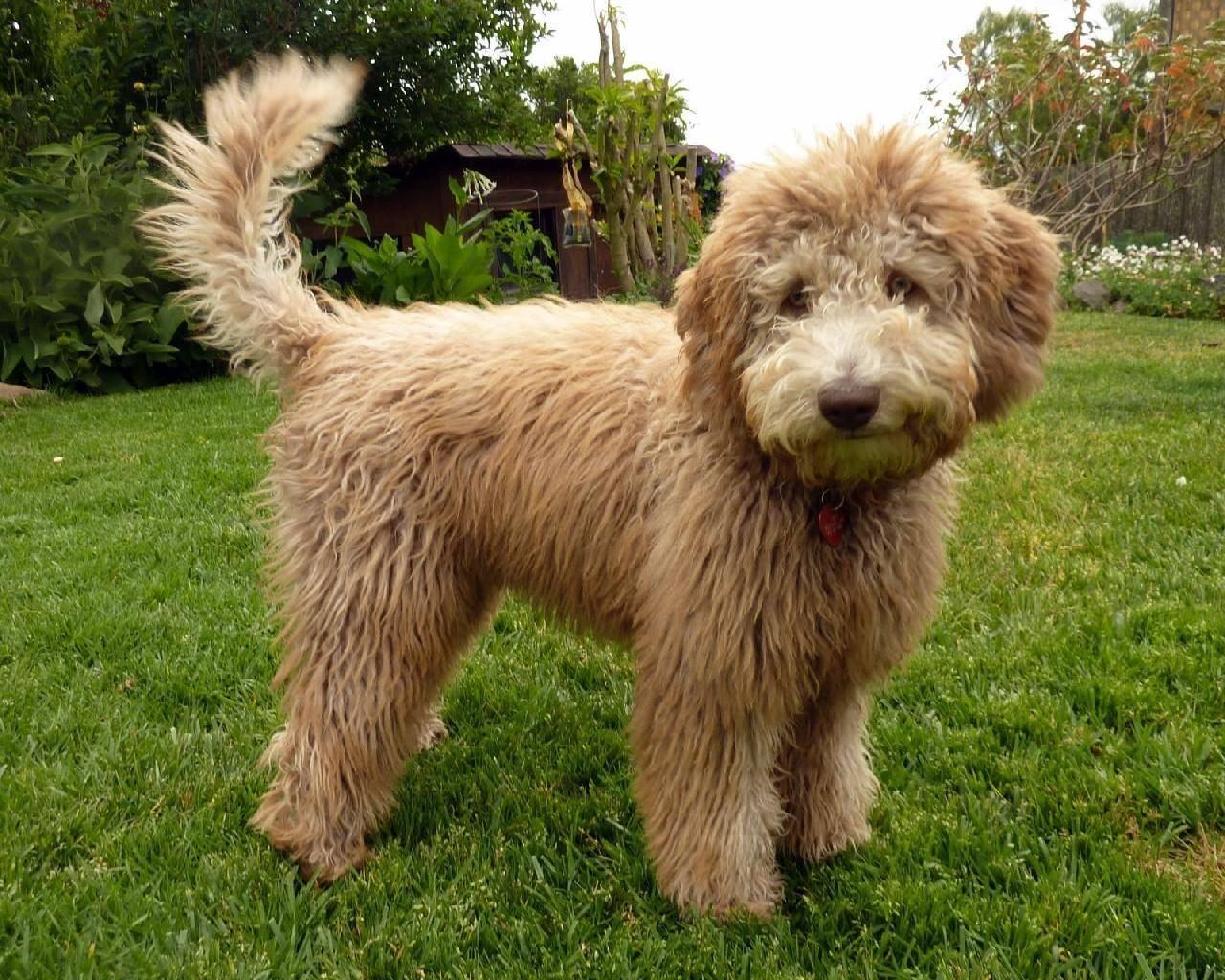 Лабропудель – энциклопедия о собаках