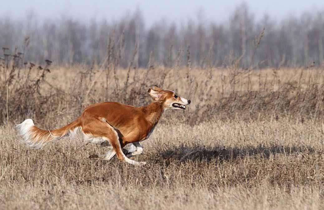 Борзая собака: гончие охотничьи виды пород