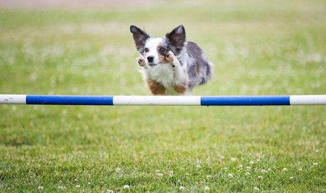 Аджилити для собак — особенности, виды, правила, подходящие породы