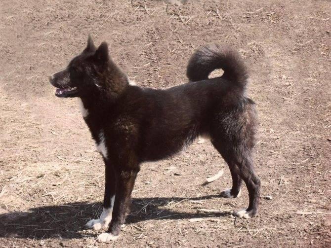 Русско-европейская лайка: описание породы, черная восточно-европейская собака