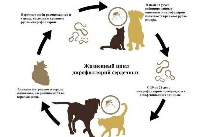 Гельминтоз (глисты) у собак