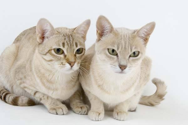 Дымчатый кот: список пород с окрасом шерсти смоук