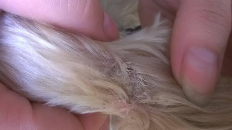 Почему собака грызет свой хвост