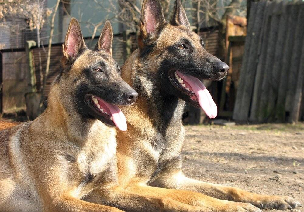 Малинуа (58 фото): описание бельгийской овчарки, стандарт породы собак, характер щенков, характеристика окрасов