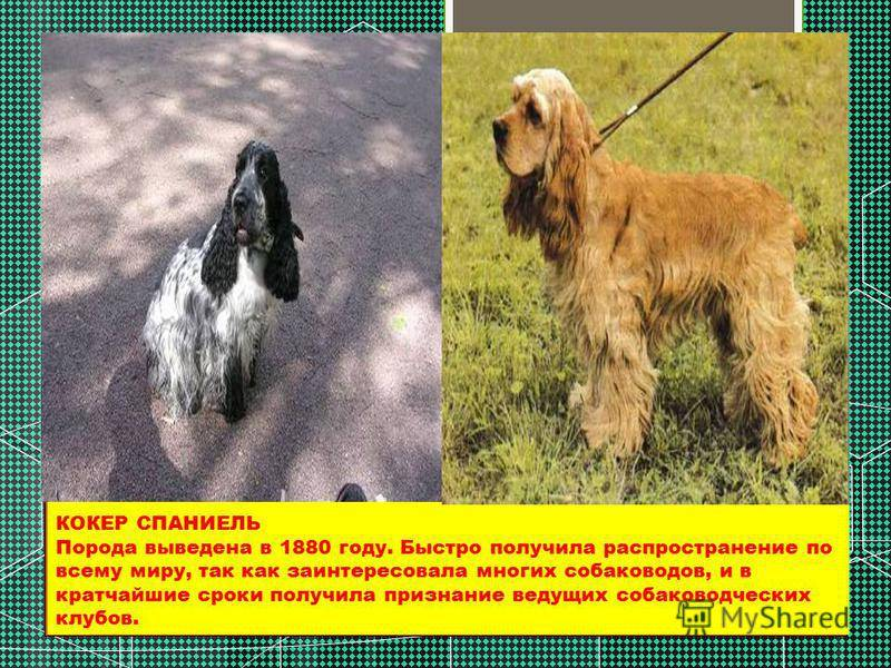 Русский охотничий спаниель: характеристика породы и выращивание