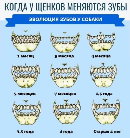 Когда у щенков меняются зубы