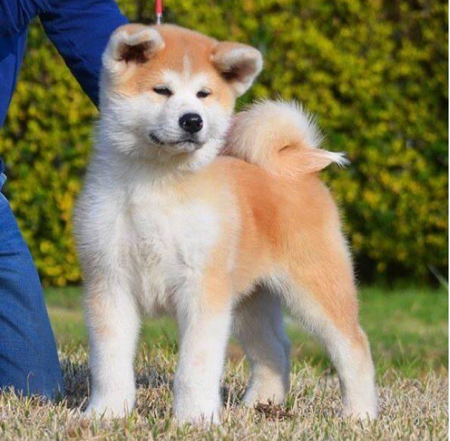 Акита ину собака. описание, особенности, уход и цена акита ину | sobakagav.ru