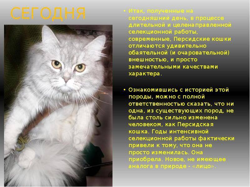 Сколько живут персидские кошки, и как продлить жизнь питомцу в домашних условиях