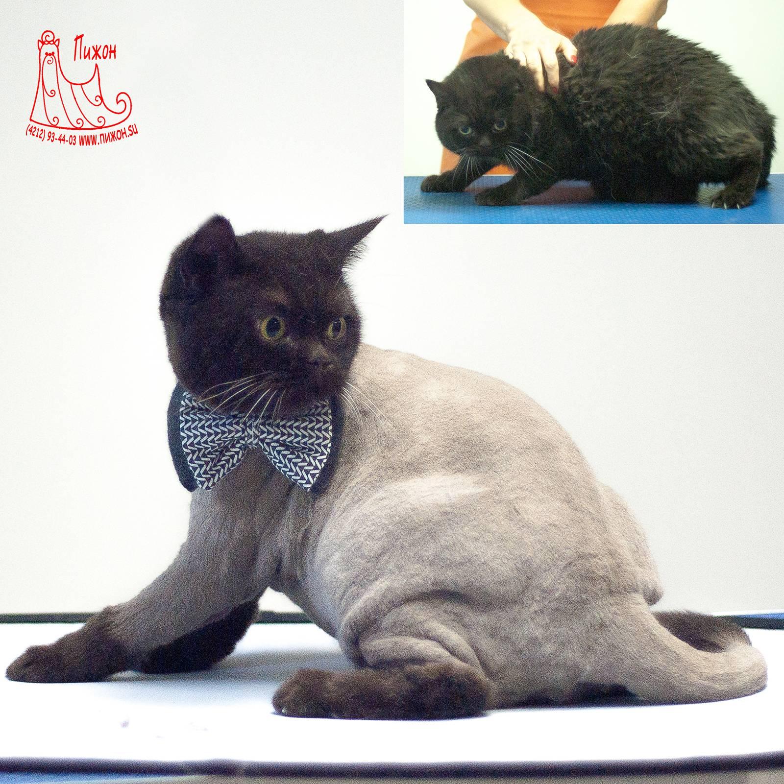 Груминг британской кошки: уход за шерстью, стрижка и купание британцев | породы кошек | royal-groom
