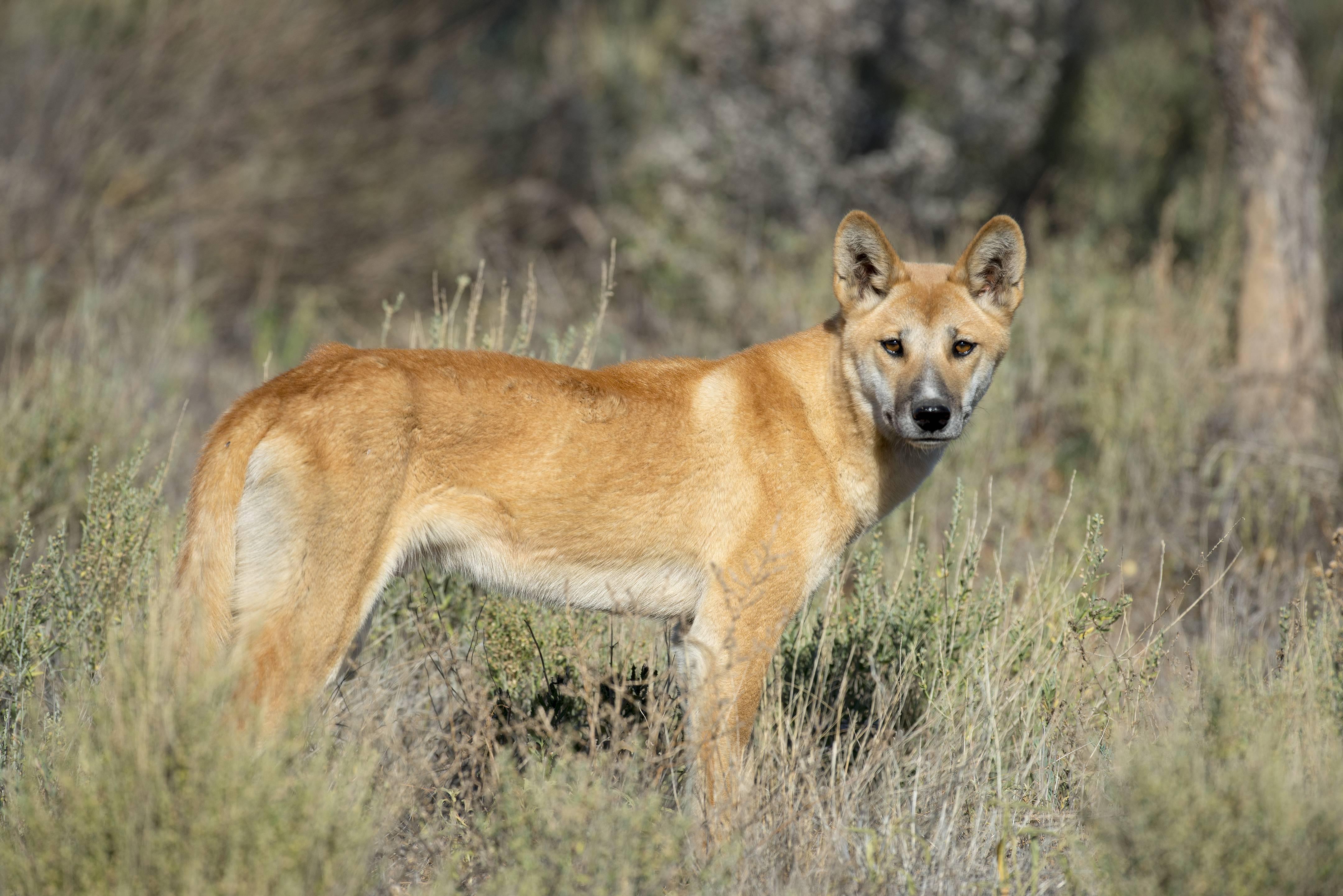 Собака динго: история, внешний вид и естественная среда обитания, одомашнивание