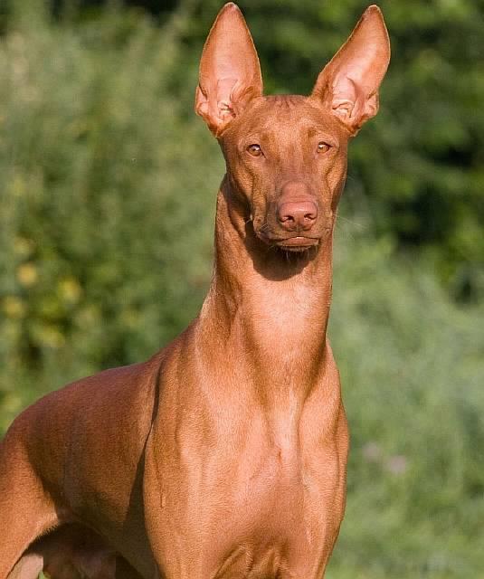 Порода фараонова собака - описание, характер, характеристика, фото фараоновых собак и видео, цена