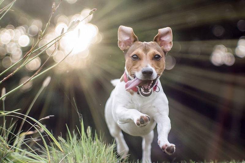 """Порода собаки из фильма """"маска"""", порода собаки по кличке майло - фото и описание. - petstime.ru"""