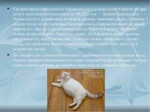 Сколько ходят беременные кошки британские – срок вынашивания котят