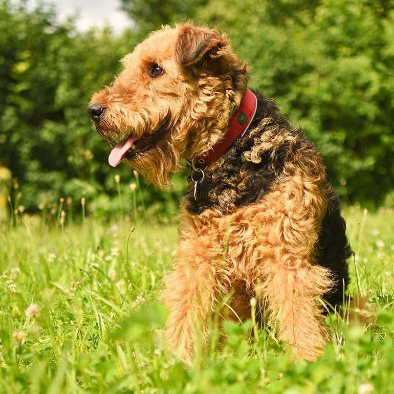 Эрдельтерьер: описание породы собак, происхождение и характер, цена щенка