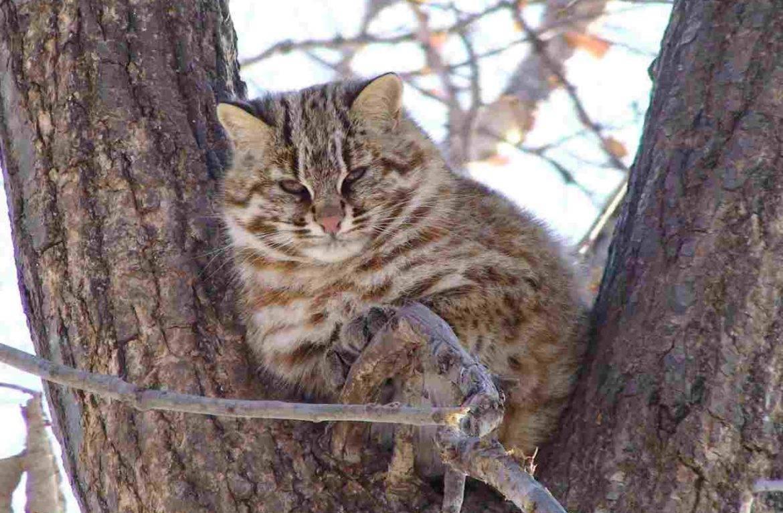 Лесной кот. образ жизни и среда обитания лесного кота | животный мир