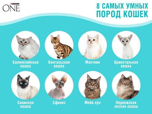 Черепаховая кошка: особенности и генетика окраса, характер животных, породы, поверья и приметы
