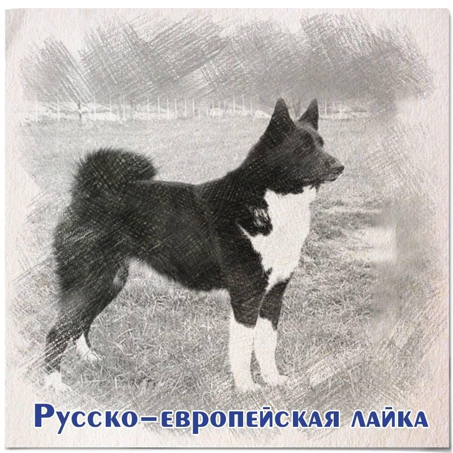 Русско-европейская лайка: описание породы и особенности ухода