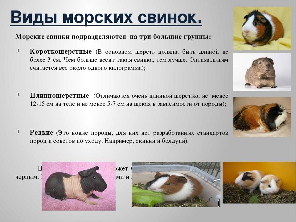 Морские свинки: все плюсы и минусы содержания