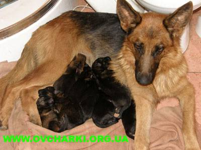 Особенности щенков немецкой овчарки до года, фото малышей в 1, 2, 3 и 4 месяца. как выбрать и ухаживать за собакой?