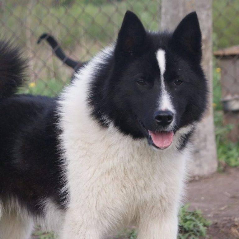 Лайка – неутомимый северный охотник и сильная ездовая собака