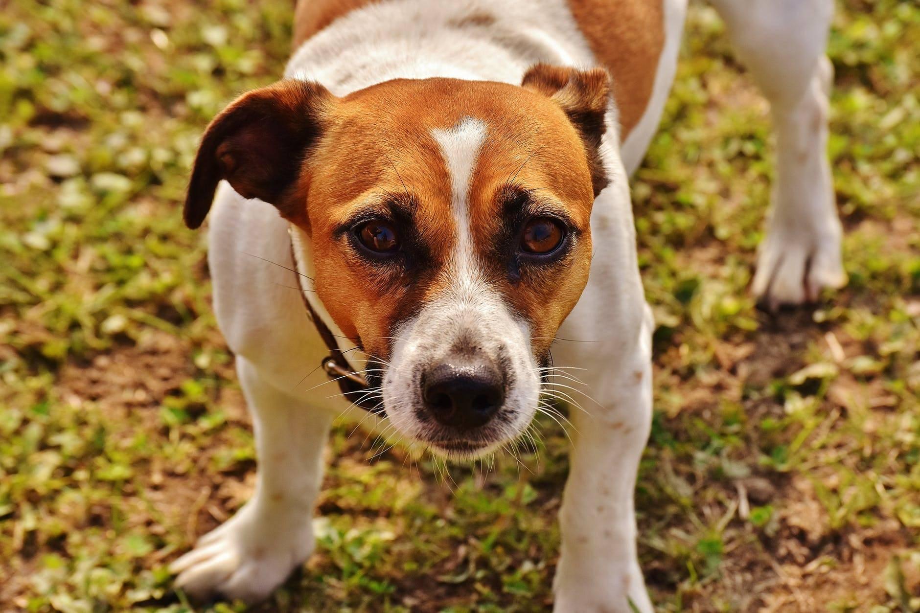 Порода собаки изфильма «маска»: описание породы, фото ивидео