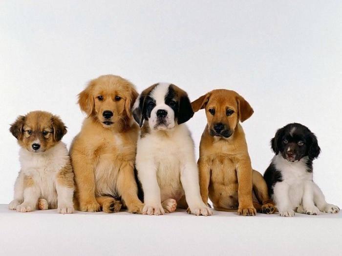 Рейтинг самых дешевых пород собак: сколько на самом деле стоят такие щенки