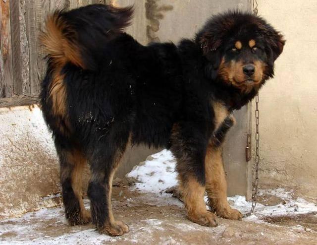"""Бурят-монгольский волкодав: фото и описание породы собак """"хотошо"""""""