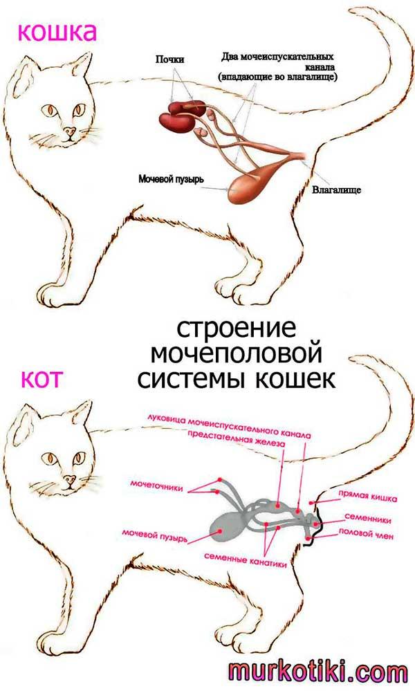 Что может провоцировать недержание мочи у кошки?   мир кошек в каком возрасте у кошек появляется недержание мочи?   мир кошек