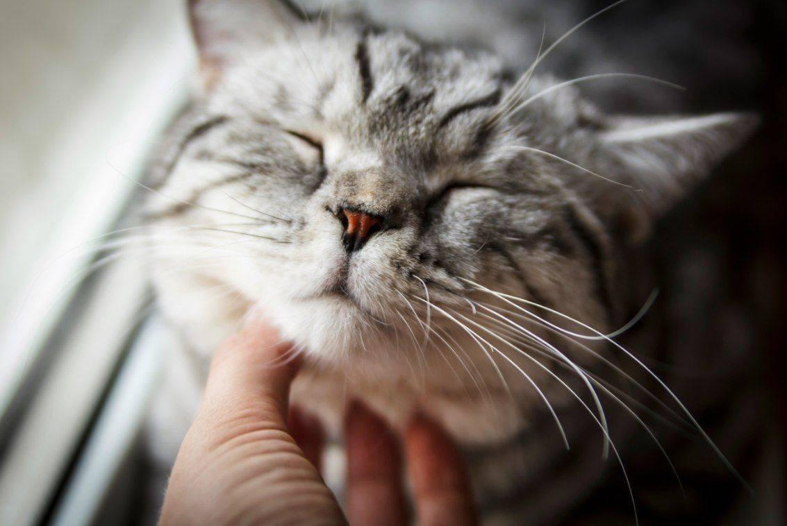 Почему кошки мурчат: что может значит, когда кошка перебирает, топчет лапками и ложится на человека, зачем они издают эти звуки?