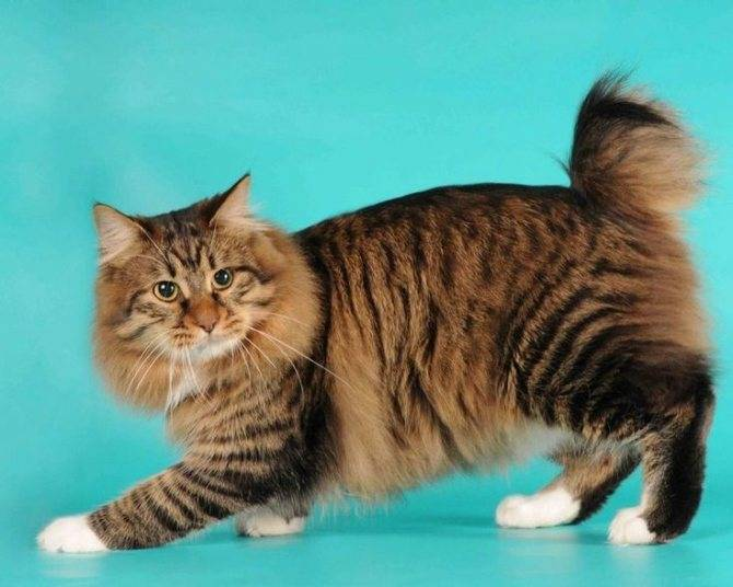 Кошки без хвоста: названия пород, их описания и фото