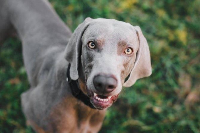 Веймаранеры (47 фото): описание породы, собаки голубого и черного окраса, длинношерстные и короткошерстные щенки, отзывы владельцев