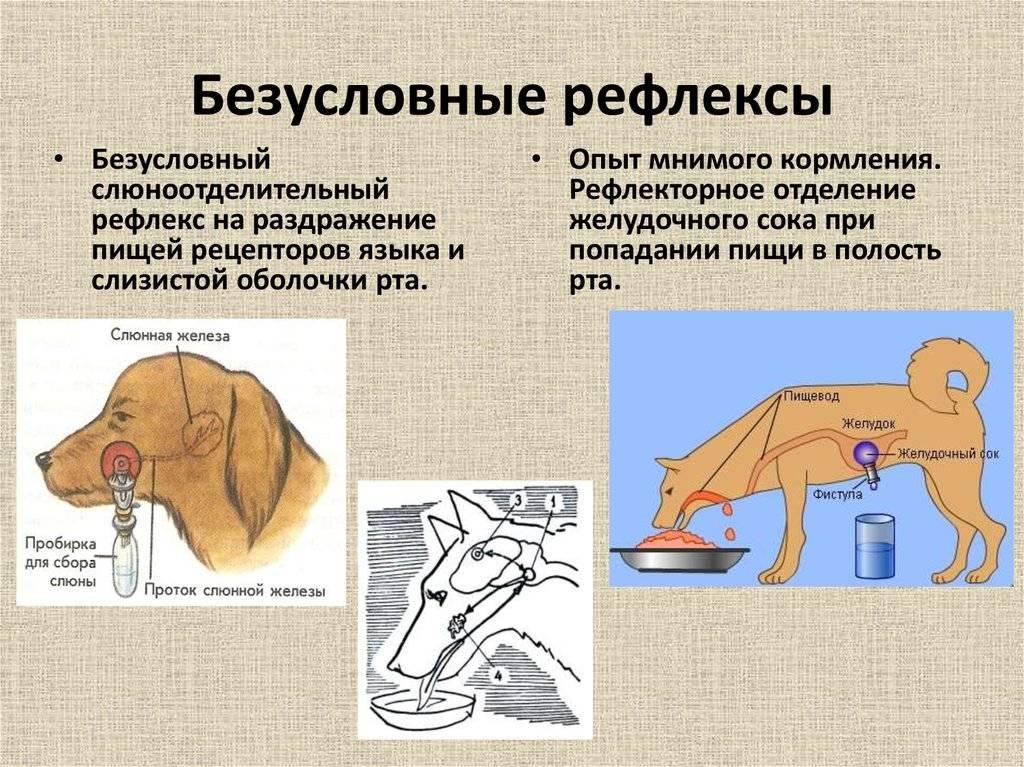 Эксперимент ⚠️ «собака павлова»: что это такое, в чем суть, краткое описание