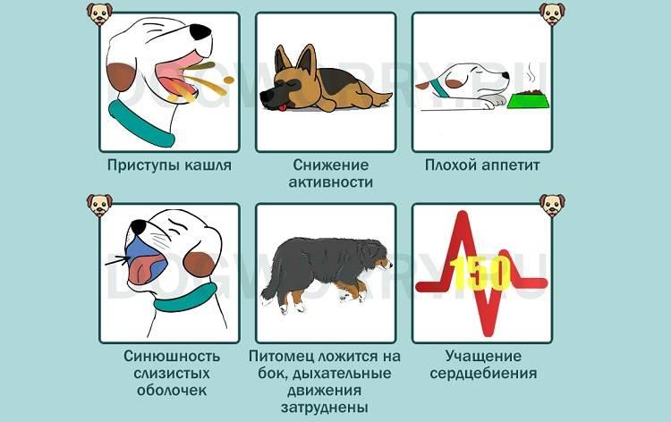 Собаки, кашель у собак, причины появления и способы лечения кашля у собаки