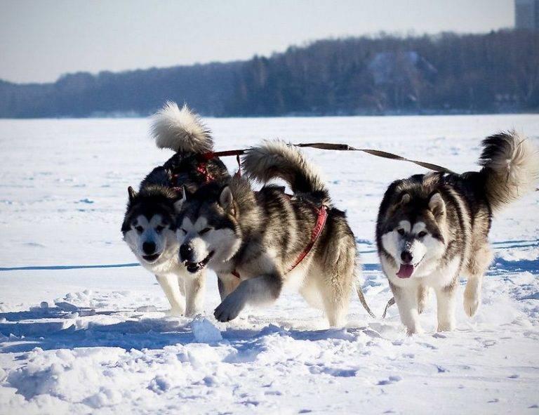 Аляскинский маламут – характер и описание породы собак с фото