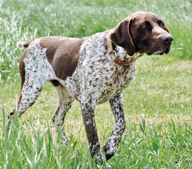 Собаки » породы » английский пойнтер