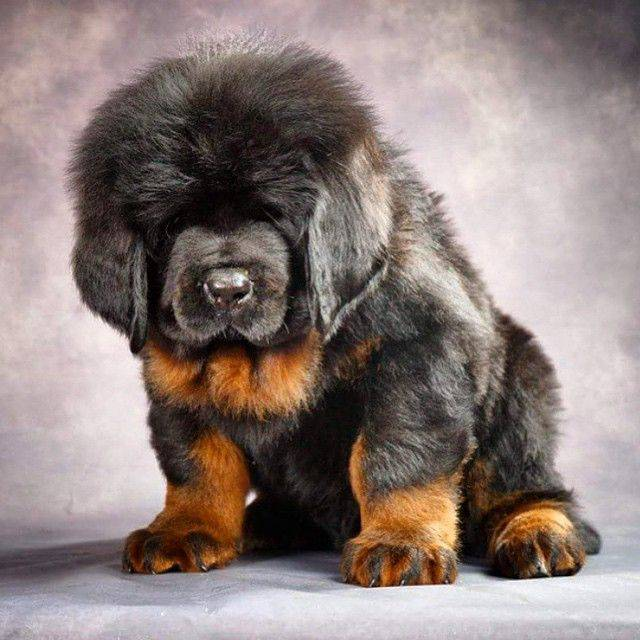 Развитие и социализация щенка тибетского мастифа
